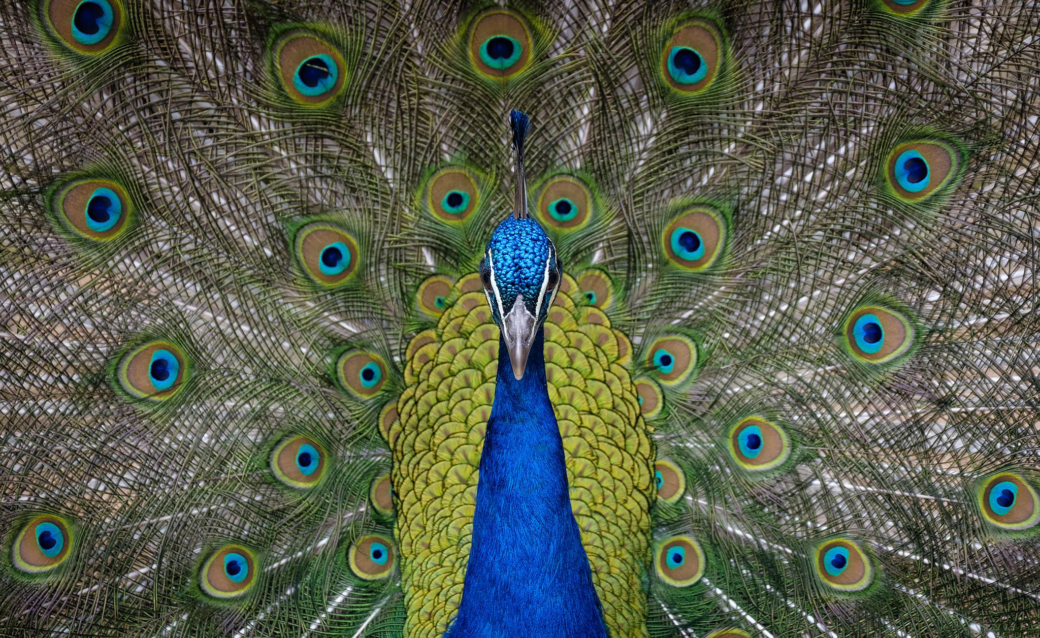 Peacock.jpg.e291d0559a044b2fabcef0999adc