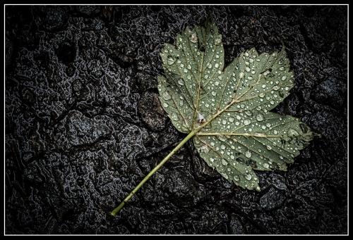 Rainy Day Leaf.jpg