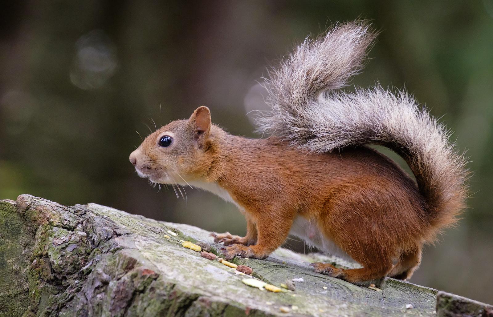 59a3eb008d7b0_SquirrelAlert.jpg.f26d6895