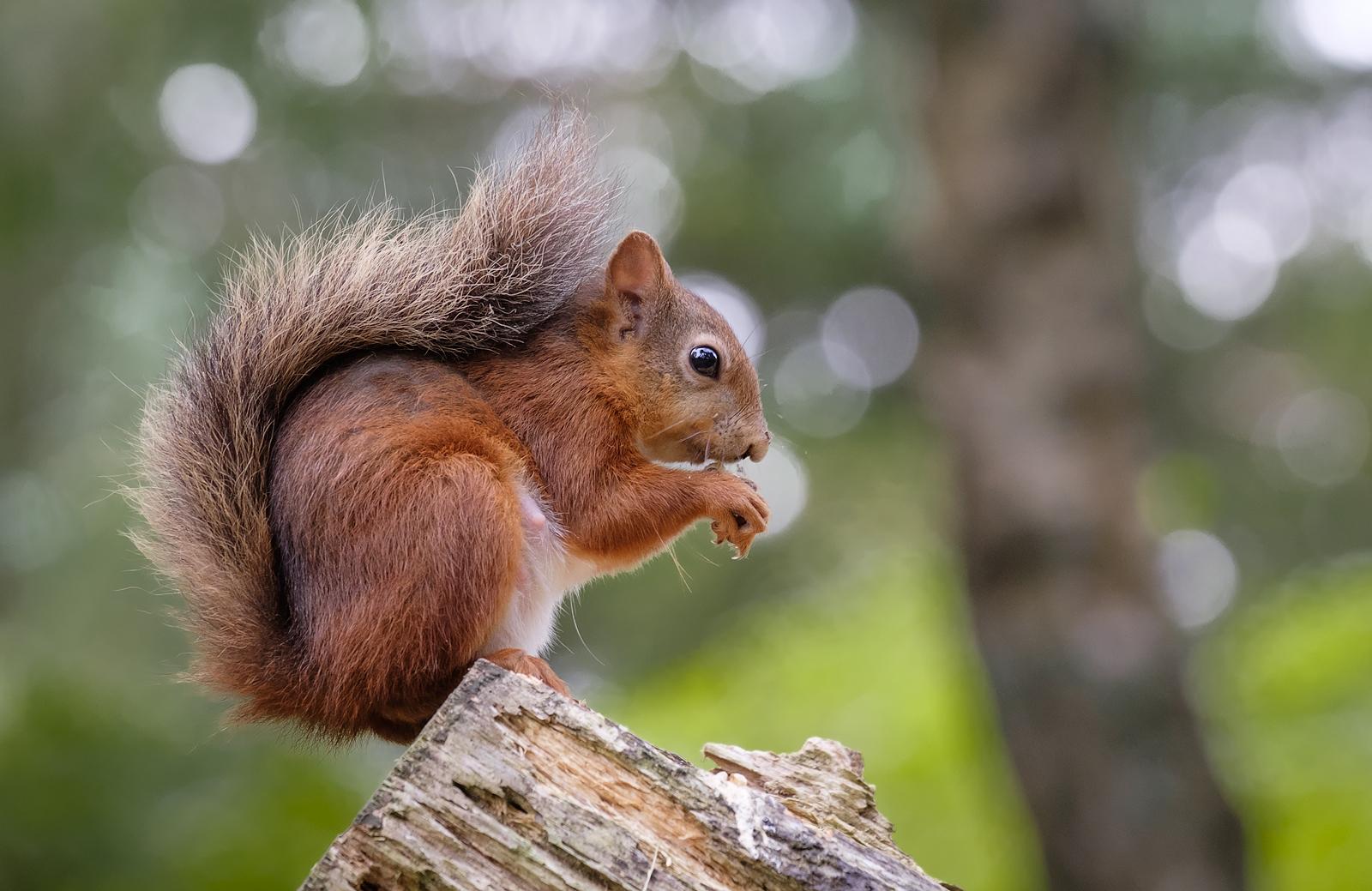 59a3eb0234a4d_SquirrelBokeh.jpg.e97a170b
