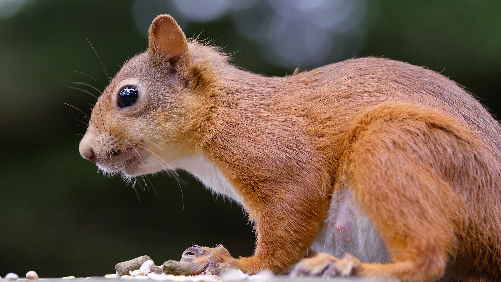 59a3eb073aa70_SquirrelStare.jpg.327f4300