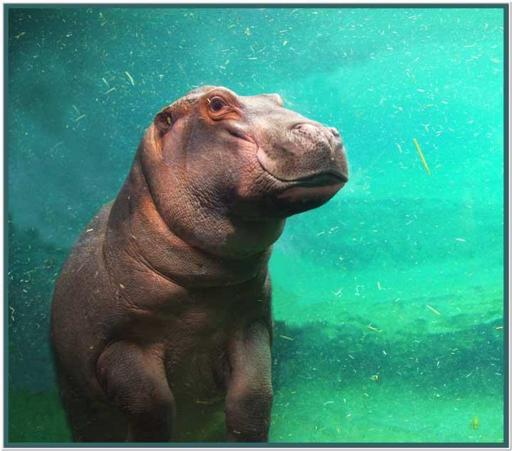 Hippo-1BW.jpg