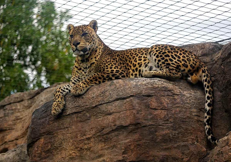 Leopard432A6929website.jpg