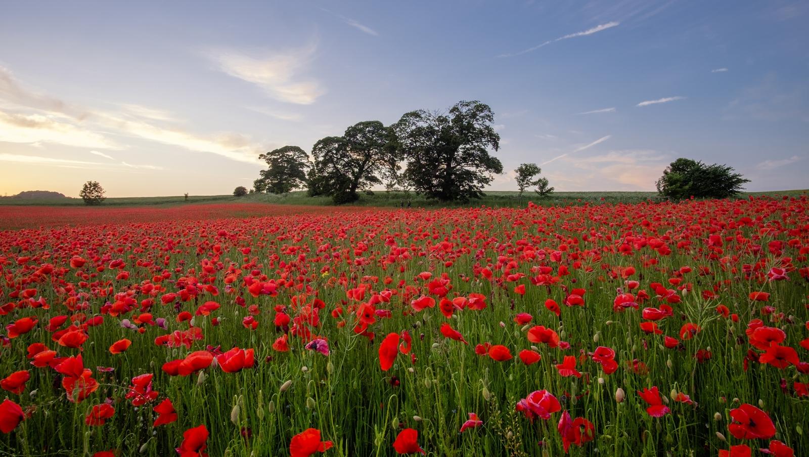Poppy_Field_FB.jpg