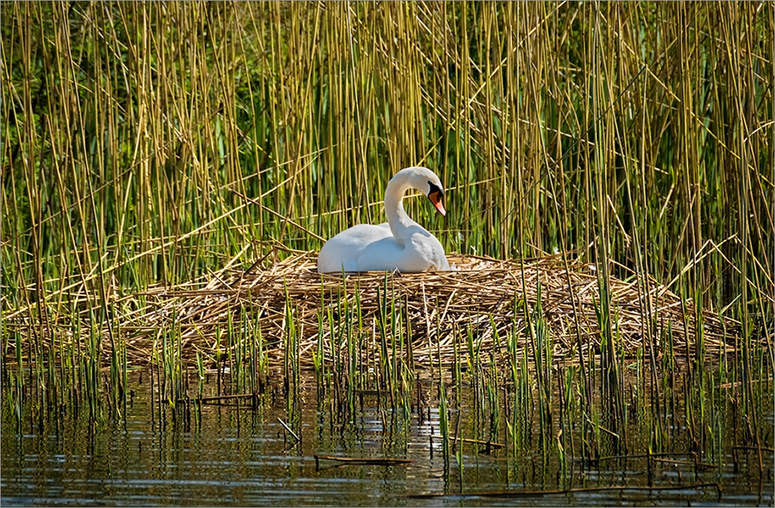 Swan.jpg.0d694d9a0f36439960428662602f7105.jpg