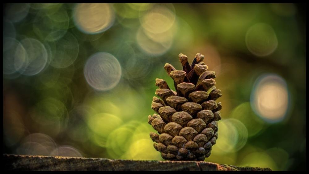 Pine Cone Bokeh.jpg