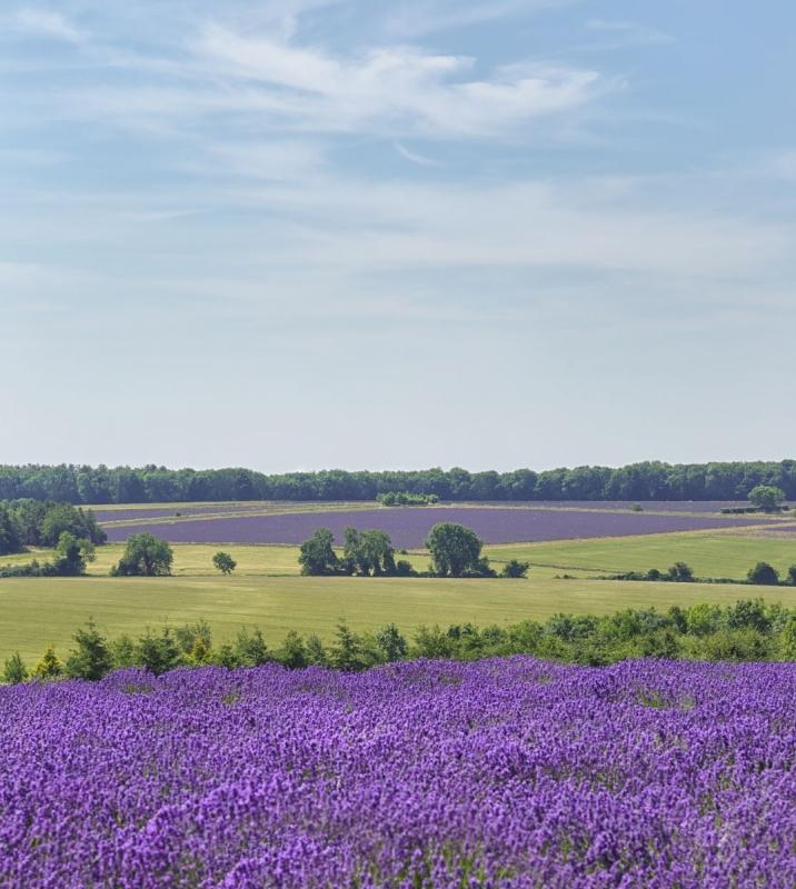 lavender432A8347website.jpg