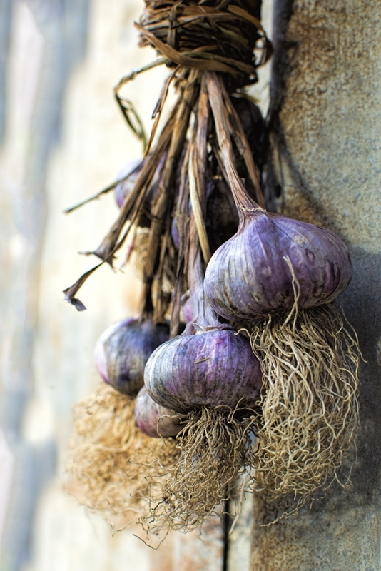 purple garlic1.jpg