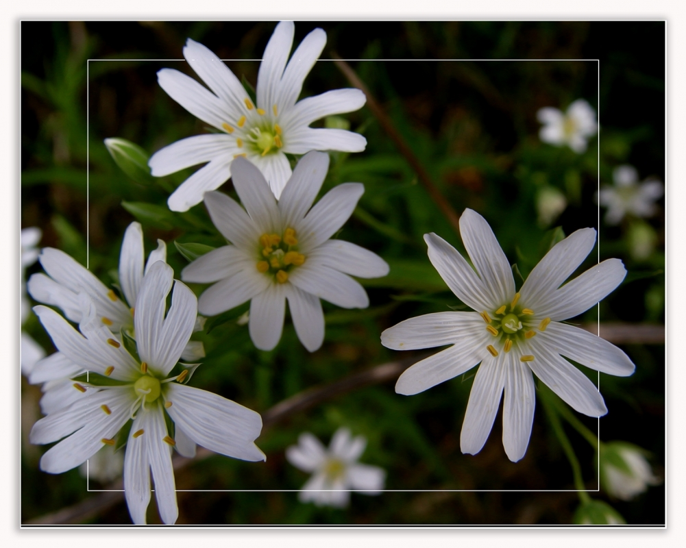 A wood anemone white 3s.jpg