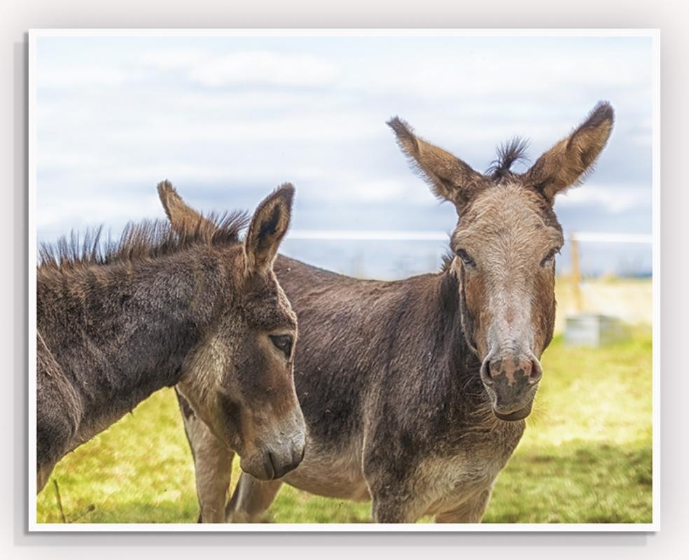 jack and jenny pair of donkeys2.jpg