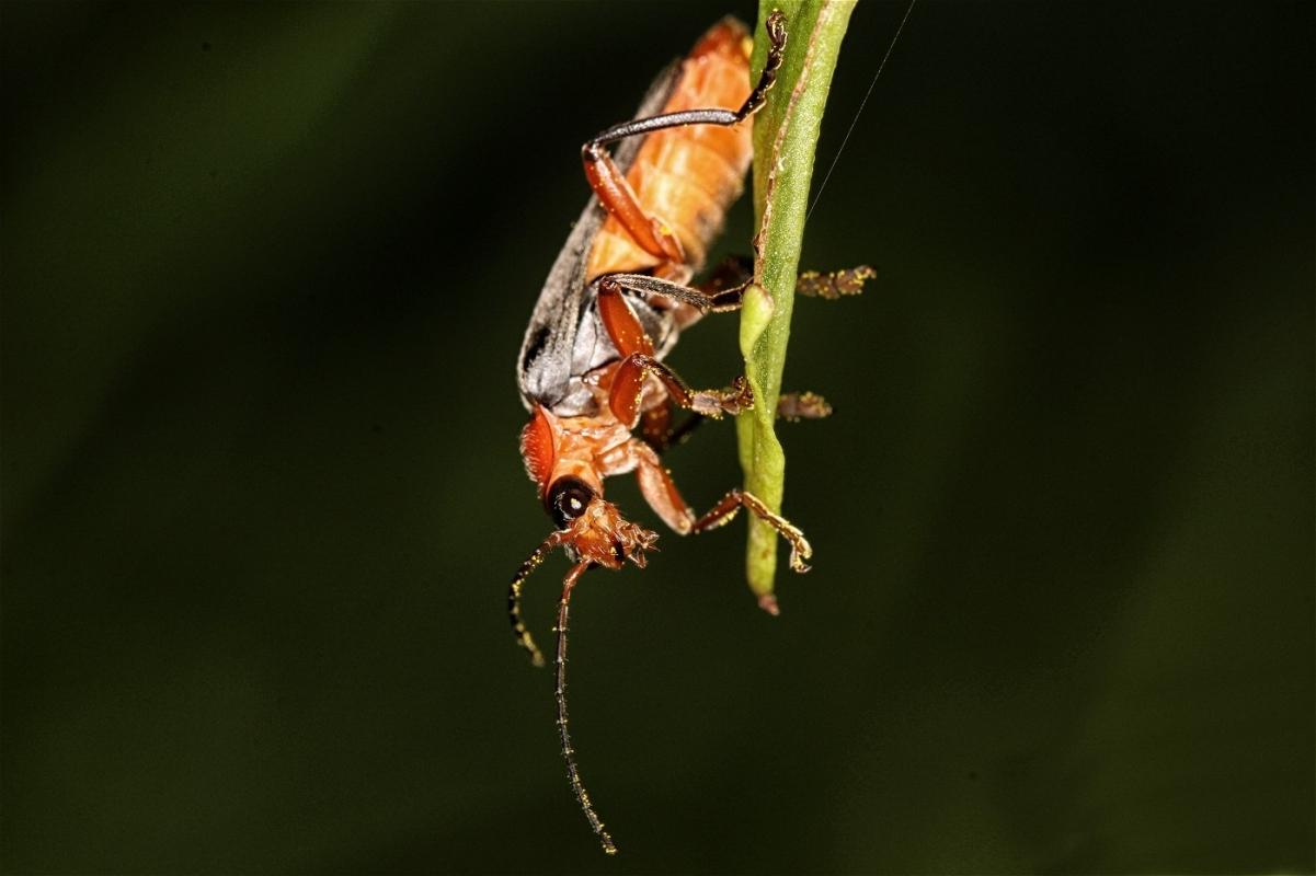 cantharidae-solider-beetle-5347.jpg