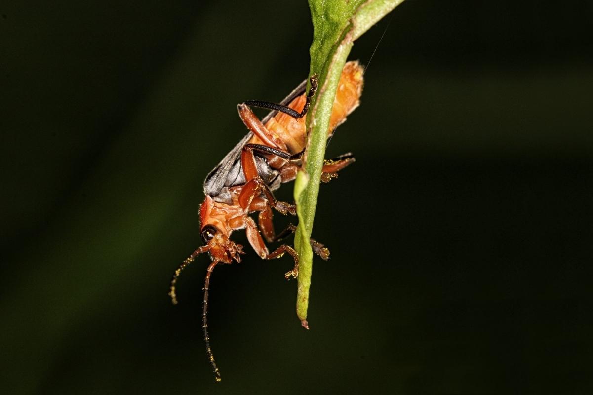 cantharidae-solider-beetle-5348.jpg