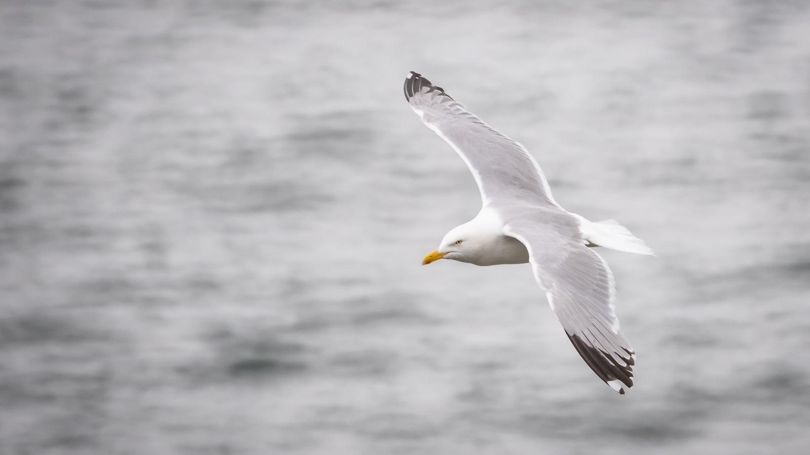 Gull Flight 2.jpg