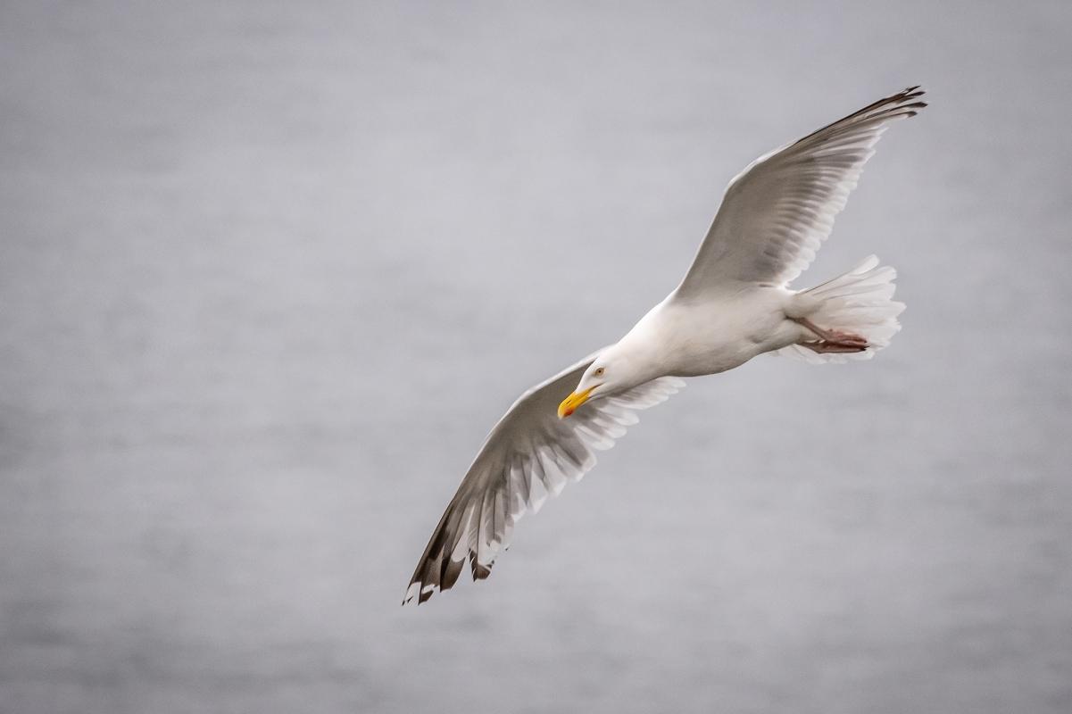 Gull Flight 1.jpg