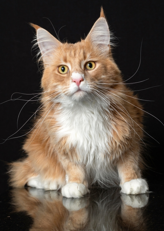 maine-coon-louise-117s-copy.jpg