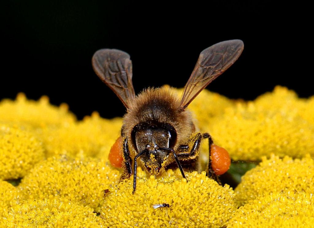 1980576178_Honeybee3(2).jpg.db04aaa8a34cee41d25251fea8451afc.jpg