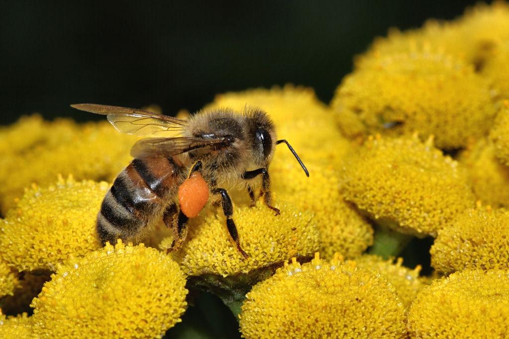2135906868_Honeybee1(2).jpg.8e467198dcbc50b32f9769cb9a05adc6.jpg