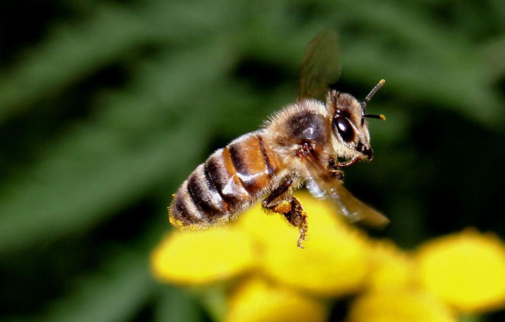 273899624_Honeybee2(2).jpg.775902a4f90688e7e3900f00e14ab0cb.jpg