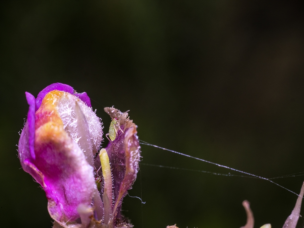 THE APHID EATER.jpg
