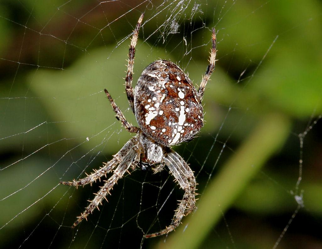 947088726_Spider3(2).jpg.71d8bfbce3f2ac492ca29d10e97553b4.jpg