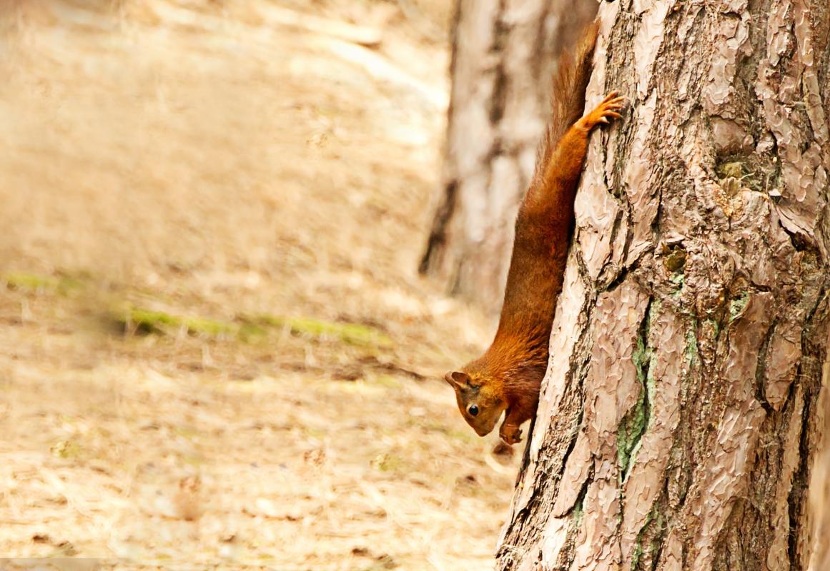Red Squirrel tree.jpg