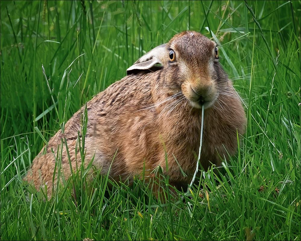 European Brown Hare B.jpg