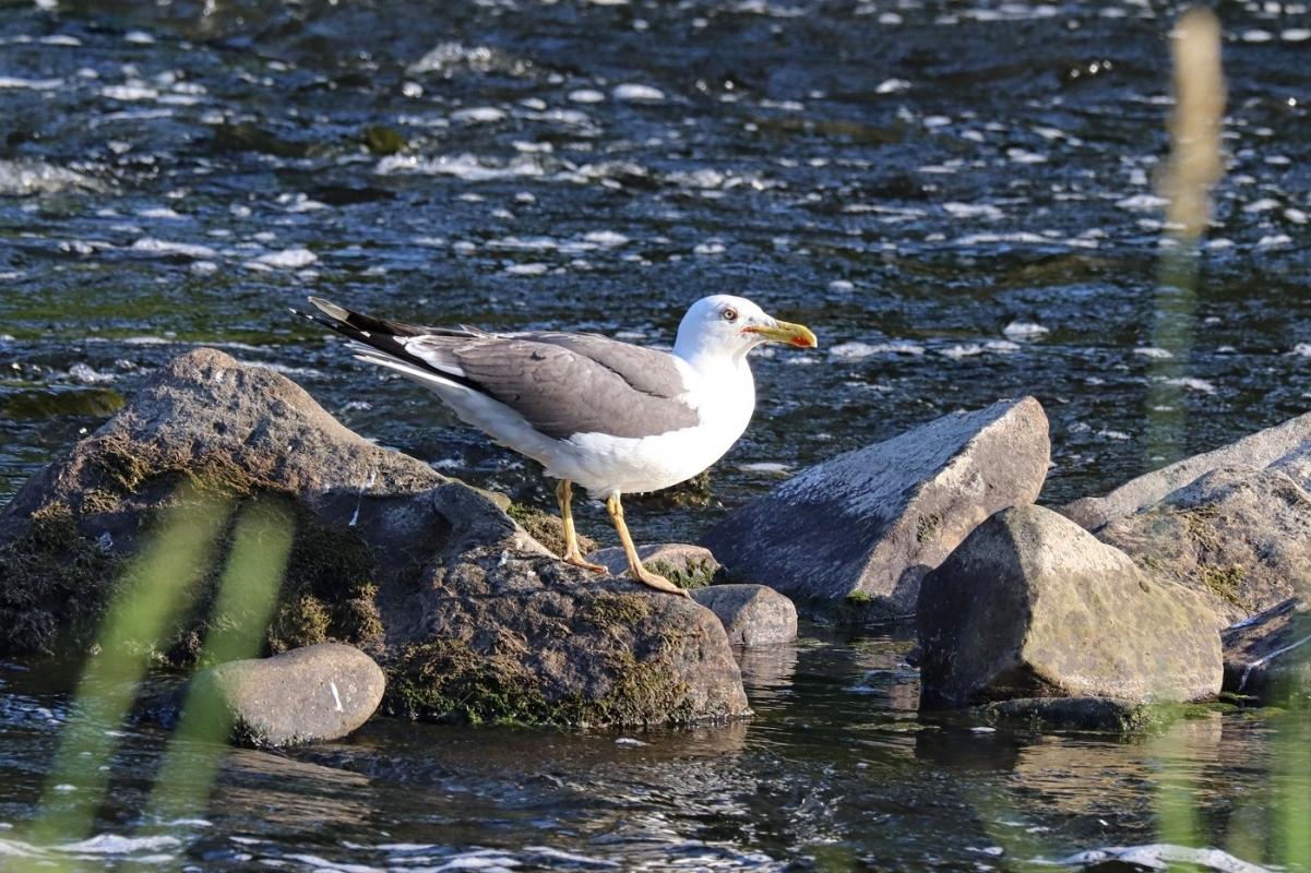 lesser-black-backed-gull-2110.jpg