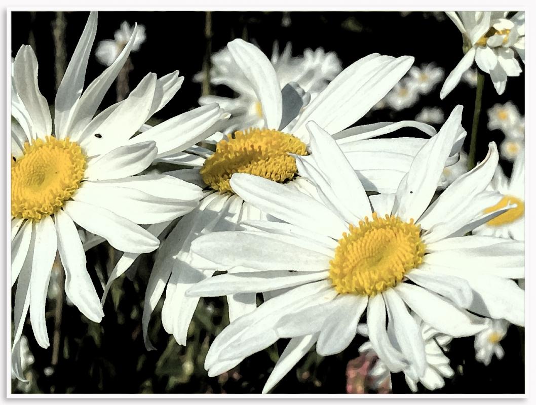 daisy ed 2s.jpg